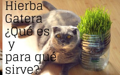 ¿Qué es la hierba gatera y para qué sirve?